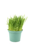 Cat grass Royalty Free Stock Photography
