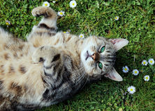 Cat on the grass. Cat with green eyes laying among daisies Royalty Free Stock Photos
