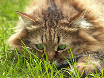 Cat in the grass Stock Images