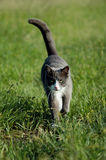 Cat in Grass. Grey and white domesticated cat walking in green grass Royalty Free Stock Photo