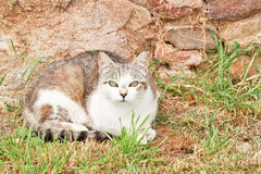 Cat in the Grass. One cat in the grass staring straight ahead Royalty Free Stock Images