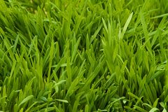 Cat Grass Royalty Free Stock Photo