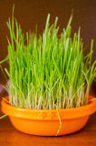 Cat grass Stock Image