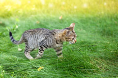 Cat in the grass. Cat walking in a tall grass stock photo