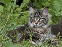 Cat in grass Royalty Free Stock Image
