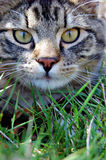 Cat in grass. A cat laying in the grass with wide eyes staring directly in front Stock Photo
