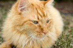 Cat in Grass. Orange domestic longhair cat lying in the grass Stock Photo