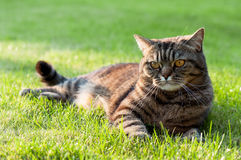 Cat on the grass. British classic shorthair tabby cat lying on the green grass Royalty Free Stock Photos