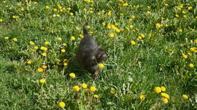 Cat at grass with dandelions stock video footage