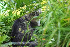 Cat in the grass. The domestic cat (Latin: Felis catus) or the feral cat (Latin: Felis silvestris catus) is a small, typically furry, carnivorous mammal. They Stock Photos