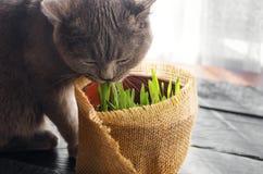 Cat Grass för katthälsa Älsklings- gräs royaltyfri bild