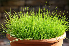 Cat grass Stock Photos