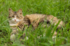 Cat in the grass. Gloomy cat lying in the grass Stock Photo