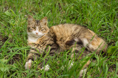 Cat in the grass. Gloomy cat lying in the grass Royalty Free Stock Photo