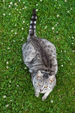 Cat in the grass. Grey cat laying in the grass Stock Images