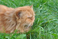 Cat in grass hunting Royalty Free Stock Photos