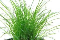 Cat grass Stock Photo