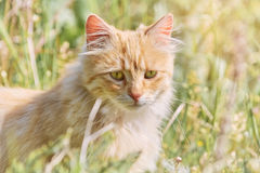 Cat in Grass. Long-haired Cat Seating in the Green Grass Royalty Free Stock Image