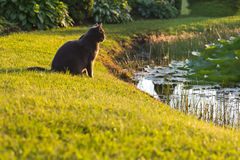 Cat on grass looking to the water. At sunset Stock Image