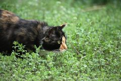 Cat on grass. A cat lurking on grass Royalty Free Stock Photo