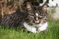 Cat on grass. A cat lying on the grass Stock Photo