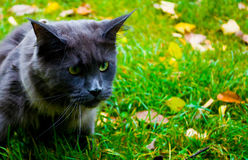 Cat In The Grass. the Maine Coon cat on green grass.  Stock Photos