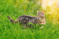 Cat in Grass. Mongrel Cat in the Green Grass Stock Images