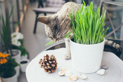 Pet grass, Cat grass. Cat is eating a cat grass Stock Photography