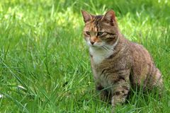 Cat in the grass. Photo of domestic cat outside the house Stock Photography