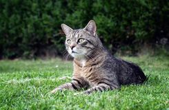 Cat on the grass portrait Royalty Free Stock Photos