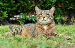 Cat on the grass portrait Stock Photography