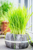 Cat Grass in pot on balcony Royalty Free Stock Image