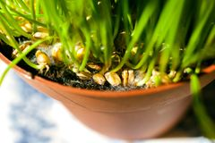 Cat grass in pot - delicious fro your pet. Fresh organic home-grown cat grass in brown pot stock images
