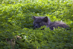 Cat in the grass. Cat prepares an ambush in the grass Royalty Free Stock Images