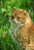 Cat on grass Royalty Free Stock Photography