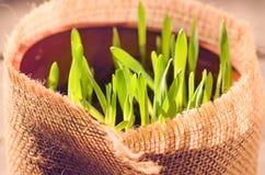 Cat Grass voor kattengezondheid Huisdierengras royalty-vrije stock fotografie