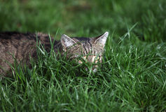 Cat on the grass Stock Images