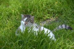Cat in grasss Royalty Free Stock Photos