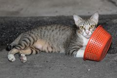 The cat gray color look like gray tiger play orange basket on fl. Oor stock photo