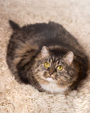 Cat, gray, fluffy, thick lies Stock Image