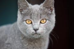Cat gray scottish portrait stock image