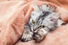 The cat gray striped pets. The cat lies on a bed, pets under a blanket sleeps Royalty Free Stock Image