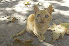 Cat from Greece. Sweet red cat from lesvos Greece Stock Photos