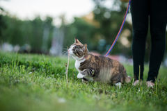 Cat greedy eating grass on walk Royalty Free Stock Images