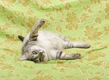 Cat on green background, cat at home, funny cat, portrait of cat. Playful cat on green background, humorous photo of playing cat Royalty Free Stock Images
