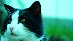 Cat With Green Backround.The domestic cat (Felis catus or Felis silvestris catus) stock video