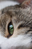 Cat green eye Stock Image