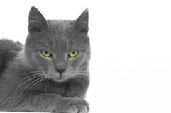 Cat with green eyed Royalty Free Stock Photos