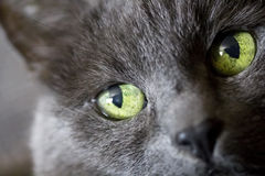 Cat green eyes Royalty Free Stock Photo