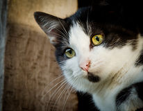 Cat with green eyes. Cat head with green eyes with black and white fur Stock Image